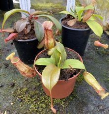 COL77 Nepenthes Collection 3